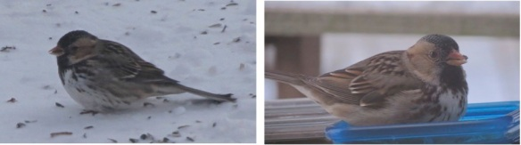 Harris's Sparrow -left: my first frantic shots, right: two weeks later