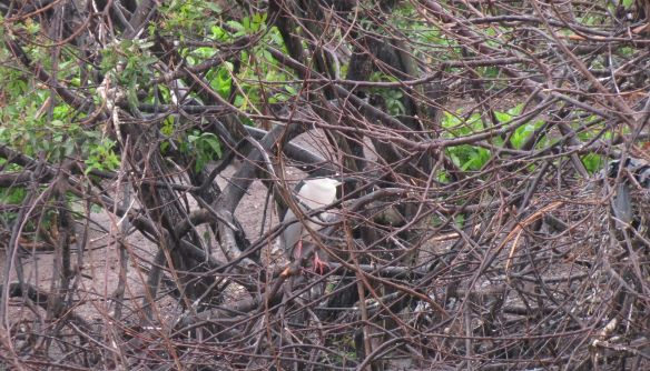 Can you see see the Black-crowned Night Heron?