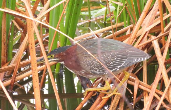 A zoom lens was necessary to pick this Green Heron out of the reeds
