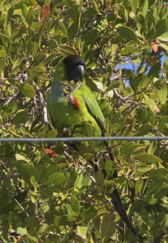 The Nanday Parakeet blends in very well.