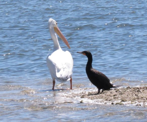 White Pelican & Double crested Cormorant