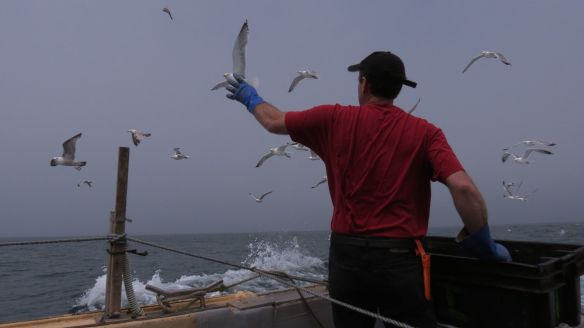 Chumming with cut herring to attract seabirds