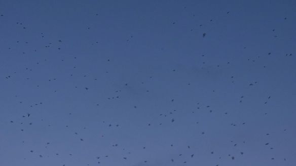 Swifts in the Sky