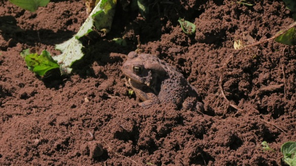 Invariably, a toad has found a resting place in the shade beneath the potato vines